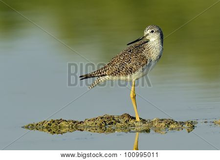 Greater Yellowlegs (Tringa Melanoleuca) on the pond.