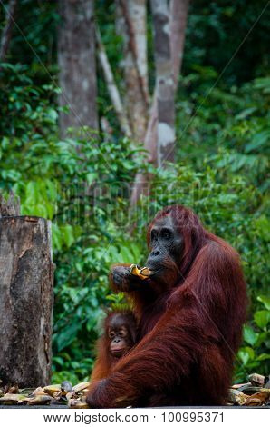 Sitting Orang Utan with Baby in Borneo Indonesia