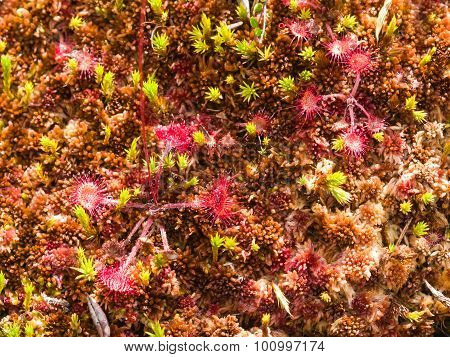 Round-leaved Sundew In Moss Macro, Selective Focus, Shallow Dof
