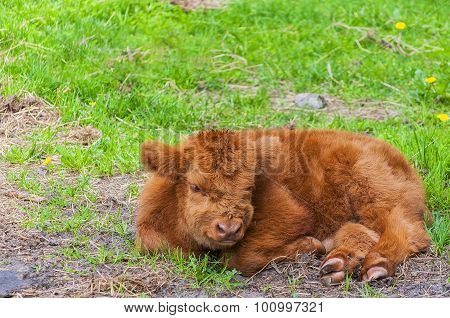 Highland Cow Calf Resting