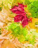 Постер, плакат: Кленовые листья