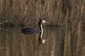 Great Crested Grebe Before Gras poster
