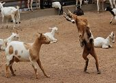 stock photo of pygmy goat  - A goat prepares to ram another goat - JPG