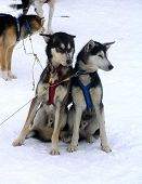 pic of chukotka  - escimo dogs huskies sled dogs winter snow - JPG