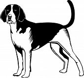 picture of foxhound  - A vector illustration of an american foxhound dog - JPG