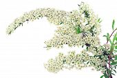 picture of meadowsweet  - Branch of a blossoming spring bush  - JPG