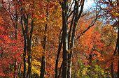 Постер, плакат: Fall Color Trees