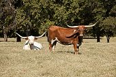 picture of longhorn  - Two longhorn cows in a field with trees and grass - JPG