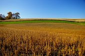 picture of mennonite  - this is an example of a field planted with a crop of soybeans ready to harvest - JPG