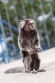 pic of marmosets  - White Eared Marmoset  - JPG