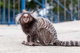 image of marmosets  - White Eared Marmoset  - JPG