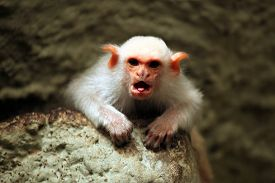 picture of marmosets  - Silvery marmoset  - JPG