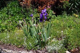stock photo of purple iris  - A purple bearded rhizome iris - JPG