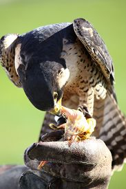 pic of hawk  - hawk on the falconer gloves and eating meat  - JPG