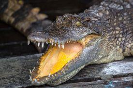 picture of crocodile  - A captive crocodile in a cambidian crocodile farm - JPG