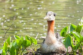 picture of red-necked  - A red necked grebe sitting on a nest with its chick hiding behind its neck - JPG
