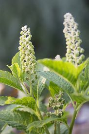 foto of pokeweed  - Two stems of Pokeweed plant with white flowers - JPG
