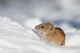 stock photo of field mouse  - Striped Field Mouse  - JPG