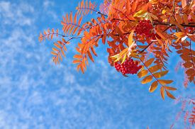 pic of mountain-ash  - Branch of a red mountain ash against the blue sky - JPG