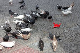 picture of pigeon  - Pigeons together play with a red - JPG