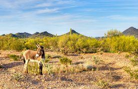 picture of burro  - Wild Burro in blooming Sonoran Desert in Arizona - JPG