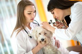 foto of maltese  - Young veterinarians at work checking Maltese ear at vet ambulant - JPG
