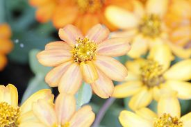 picture of zinnias  - Beautiful white Narrow leaf Zinnia or Classic Zinnia flowers - JPG