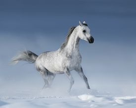 picture of dapple-grey  - Purebred  grey arabian horse galloping over meadow in snow - JPG