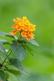 foto of lantana  - Beautiful yellow orange lantana camera flowers bloom - JPG