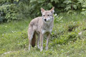 image of coyote  - A lone coyote in a forest in fall - JPG