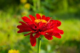 foto of zinnias  - Zinnia flower in a garden