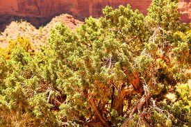 foto of juniper-tree  - Juniper tree with green berries in Monument Valley - JPG