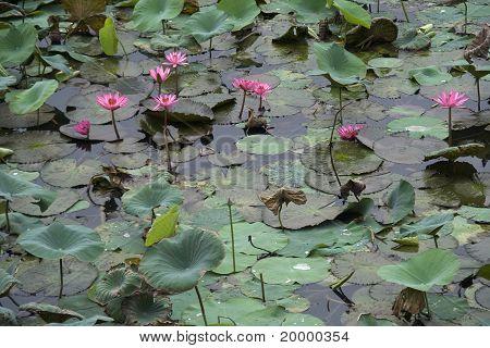 Étang de Lotus Rose