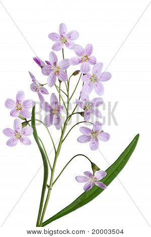 Kuckuck Blume