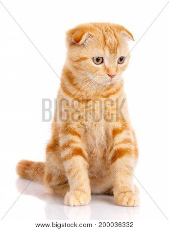 poster of cat, beautiful cat, purebred cat, fluffy cat, proud cat, kitten redhead - portrait of Scottish cat sits on a white background