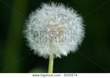Macro Dandelion Puff