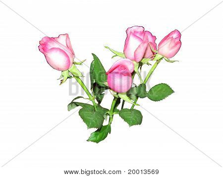 Isolated Pink Roses