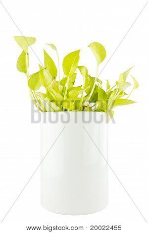 Devil's Ivy On White Background