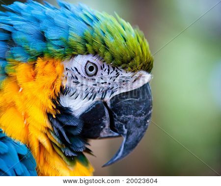 Close up of blue and yellow macaw with copy space