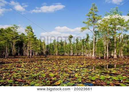 Lily pads and blooming flowers in Florida cypress swamp