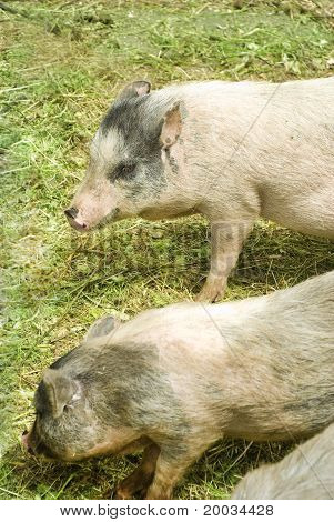 two furry spotted pigs