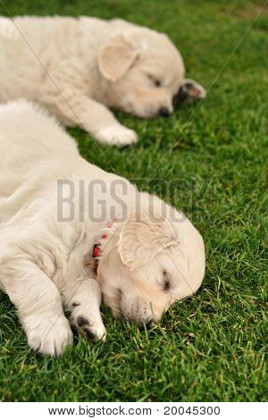 Two sleeping golden retriever puppies