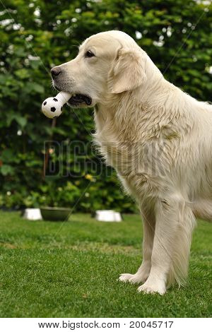 Golden retriever with toy in mouth