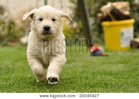 Golden retriever puppy run from front view