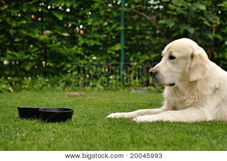 Golden retriever lie on grass