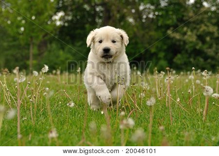 Golden retriever puppy running between dandelions