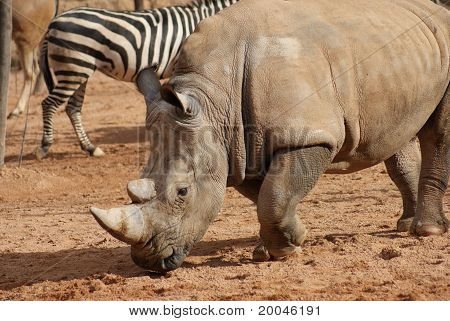 Southern White Rhinoceros - Ceratotherium Simum
