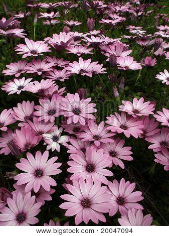 viollet flowers