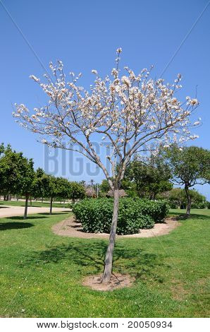 White Dogwood Tree in Bloom