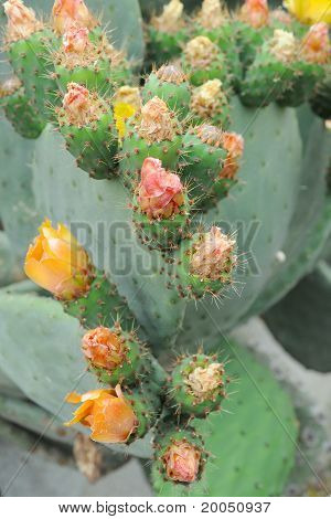 Cactus Plant Blooming Flowers